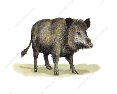 Wild boar, artwork