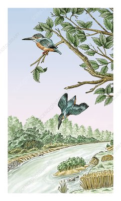 Common kingfisher fishing, artwork