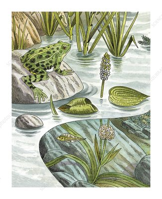 Frog life stages in a pond, artwork