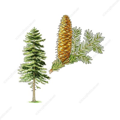 Silver fir (Abies alba) tree, artwork