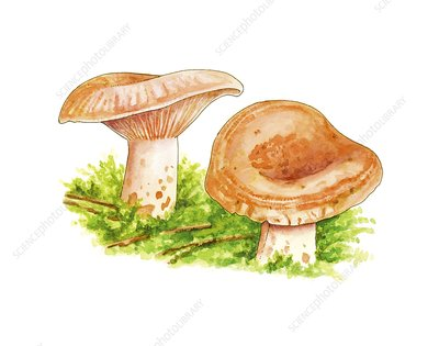 Lactarius deliciosus mushrooms, artwork