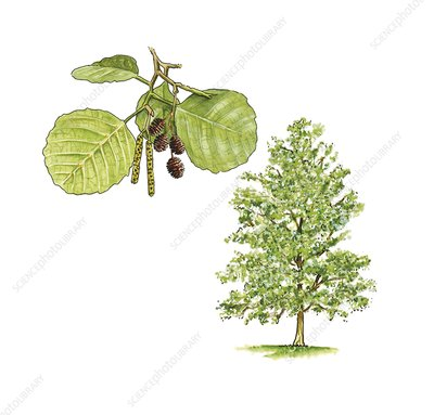 Alder (Alnus glutinosa) tree, artwork
