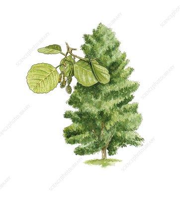 Alder alnus glutinosa tree artwork