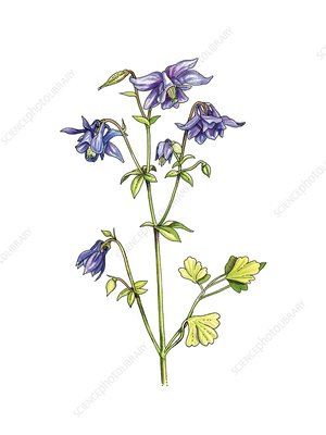 Columbine (Aquilegia vulgaris), artwork