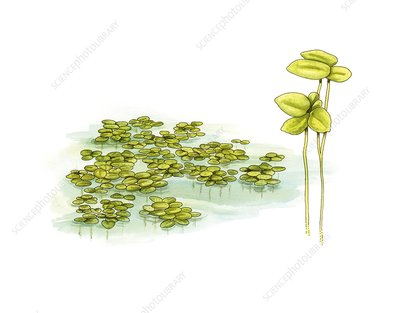 Duckweed (Lemna minor), artwork