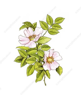 Dog rose (Rosa canina) in flower, artwork