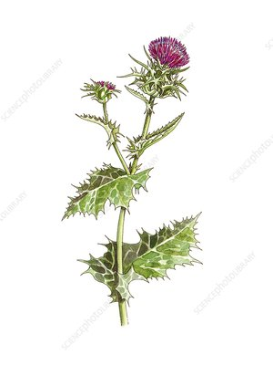 Milk thistle (Silybum marianum), artwork