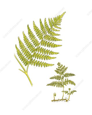 Bracken (Pteridium aquilinum), artwork