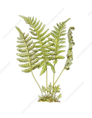 Polypody (Polypodium vulgare), artwork