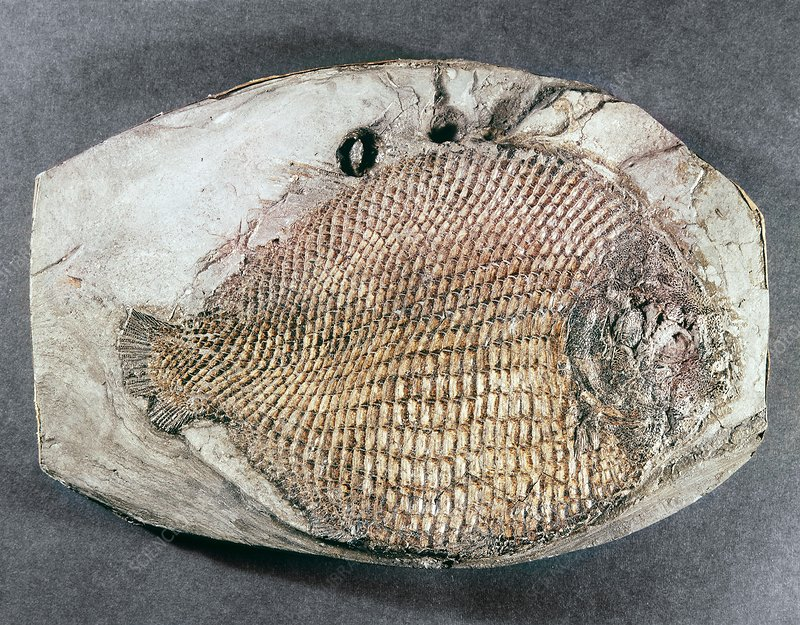 Dapedium orbicularis, fish fossil