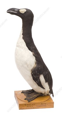 Great auk, mounted specimen