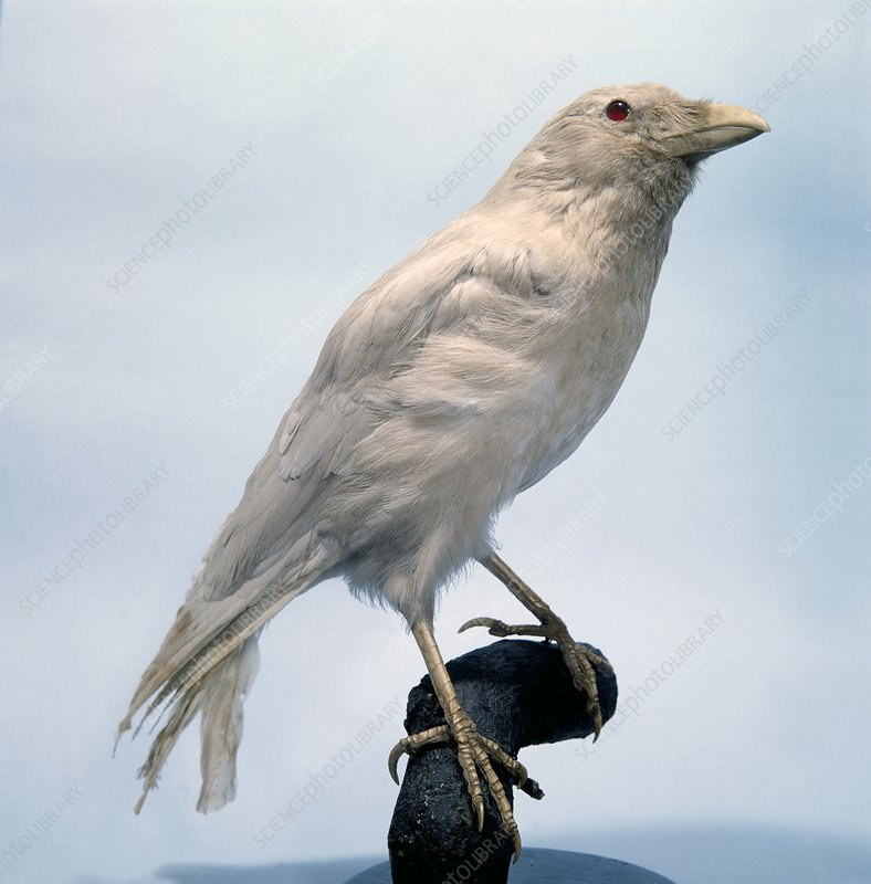 Carrion crow, mounted albino specimen