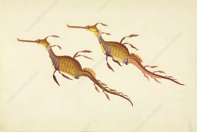 Weedy seadragon, 19th century