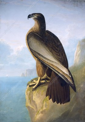 Bald eagle, 19th century