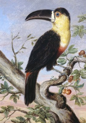 Channel-billed toucan, 19th century