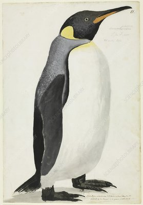 King penguin, 18th century