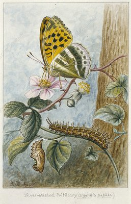 Silver-washed fritillary, 20th century
