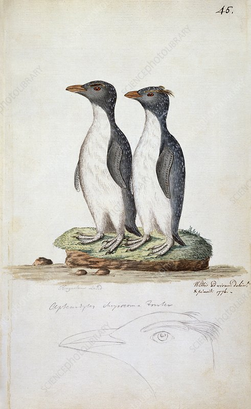 Rockhopper penguins, 18th century