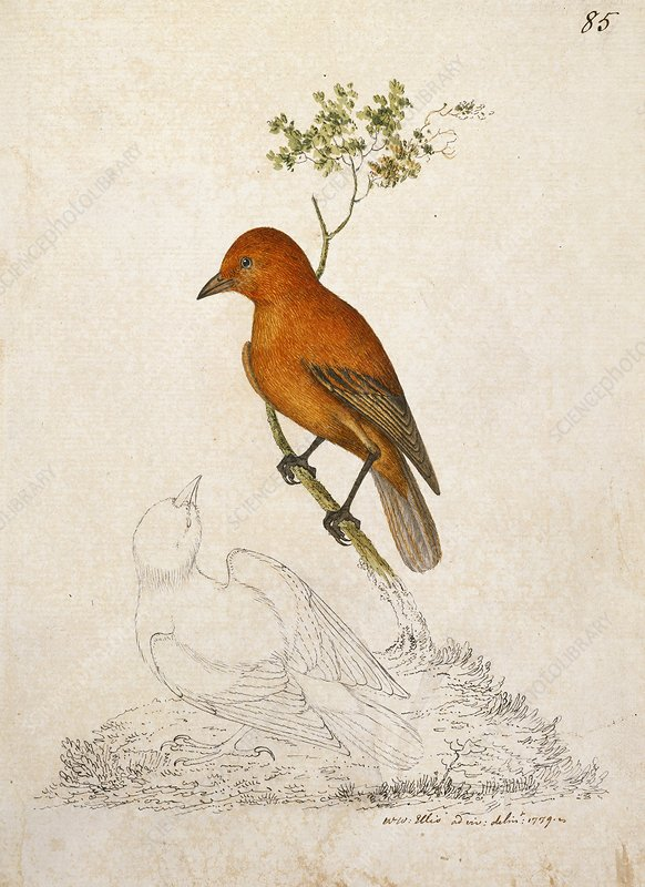 'Akepa forest bird, 18th century