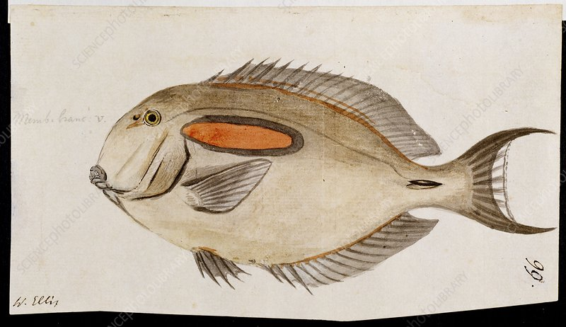 Fish from Cook's third voyage, 1770s