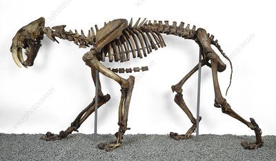 Sabre-toothed cat, fossil skeleton
