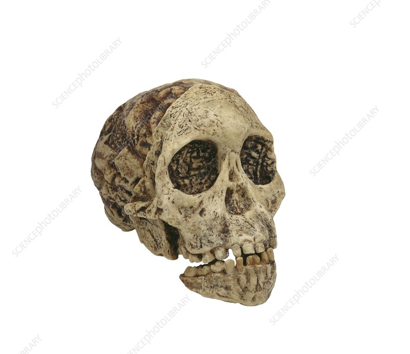 Taung Child skull (Taung 1)