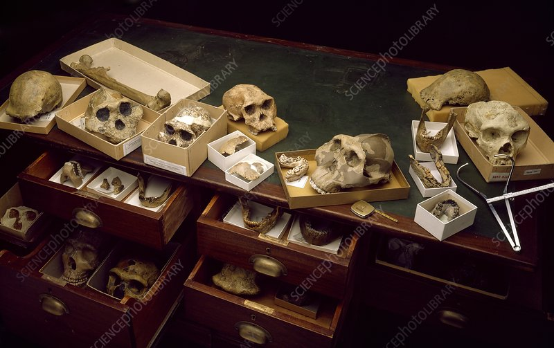Hominid fossil collection