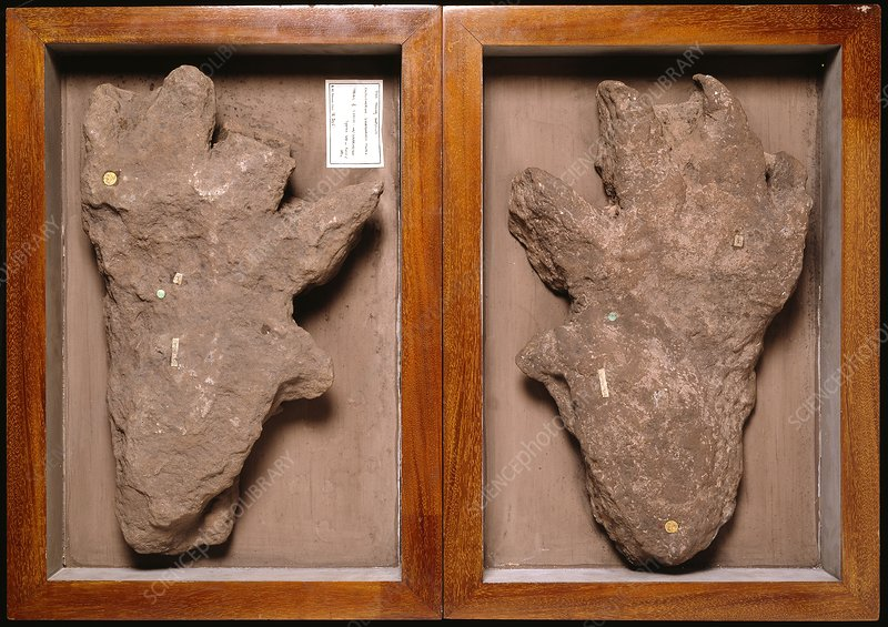Isochirotherium reptile, footprint fossil