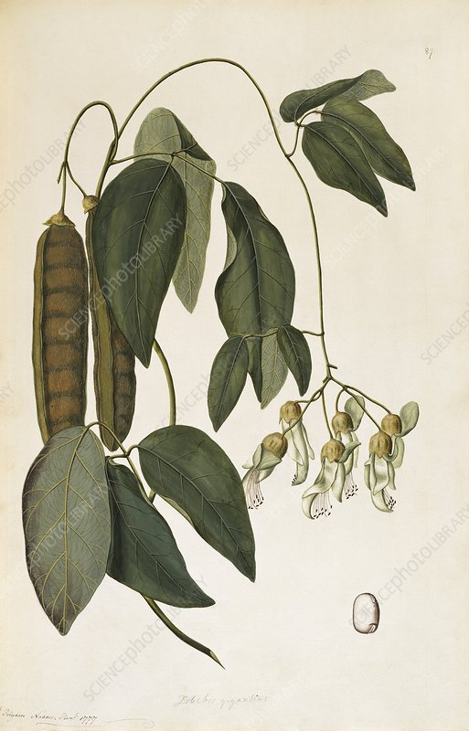 Sea bean (Mucuna gigantea), 1777