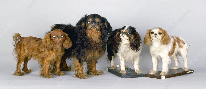 King Charles spaniels, stuffed specimens