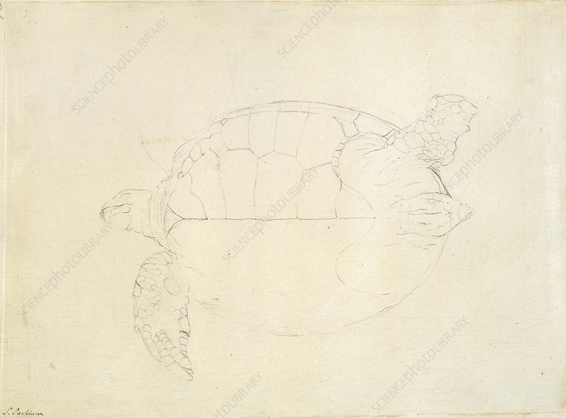 Green sea turtle, 18th century