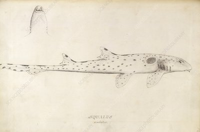 Epaulette shark, 18th century