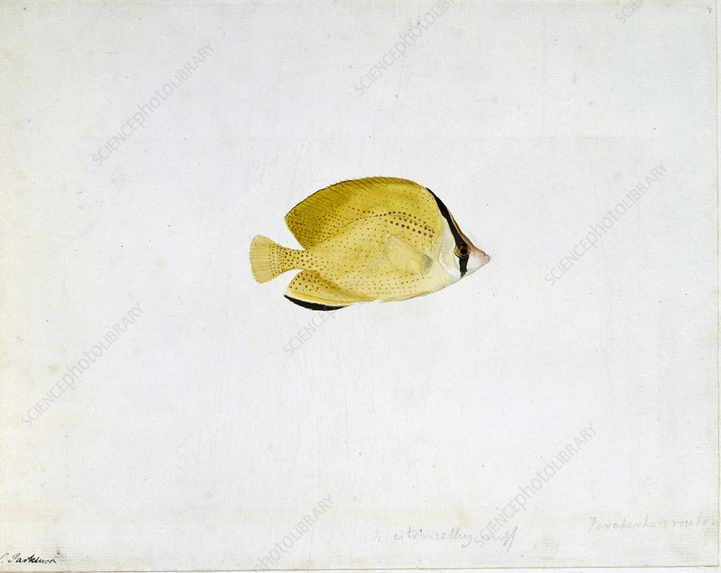 Citron butterflyfish, 18th century