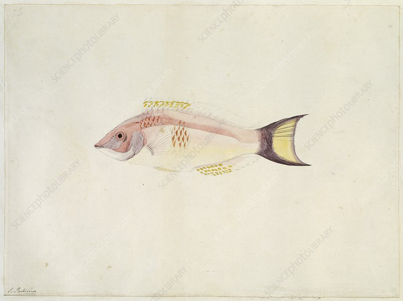 Scarlet wrasse, 18th century