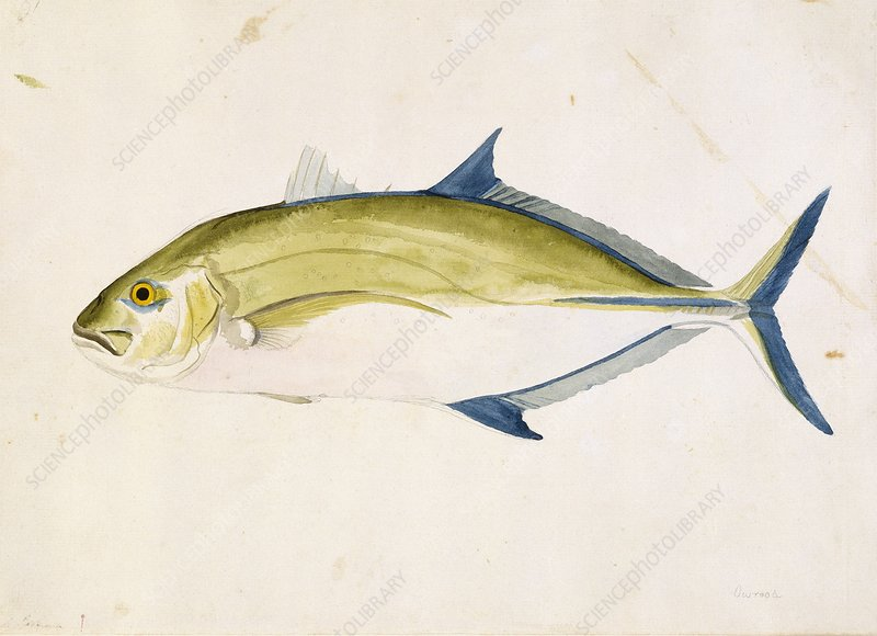 Bluefin trevally, 18th century