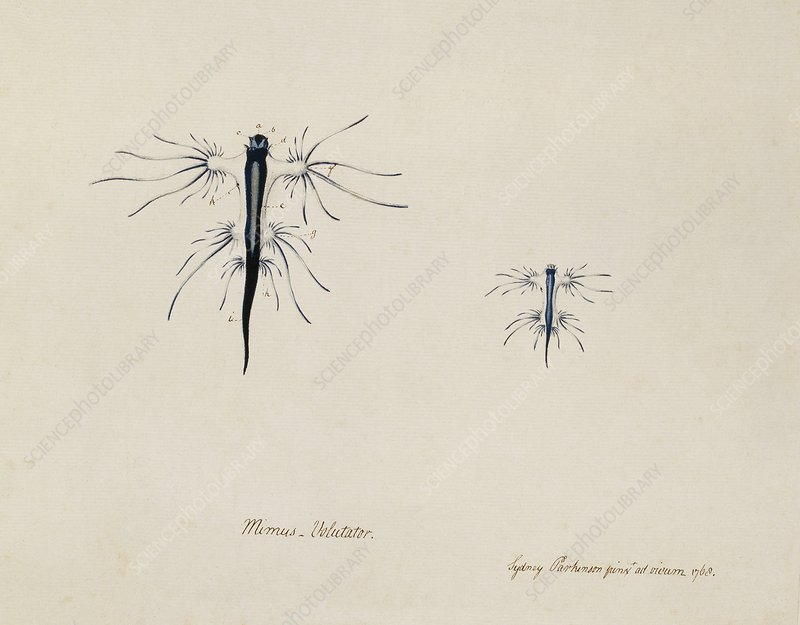 Blue sea slug, 18th century
