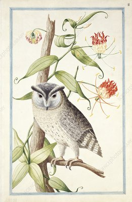 Collared scops owl, 18th century