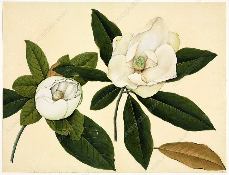 Magnolia flowers, 19th-century artwork