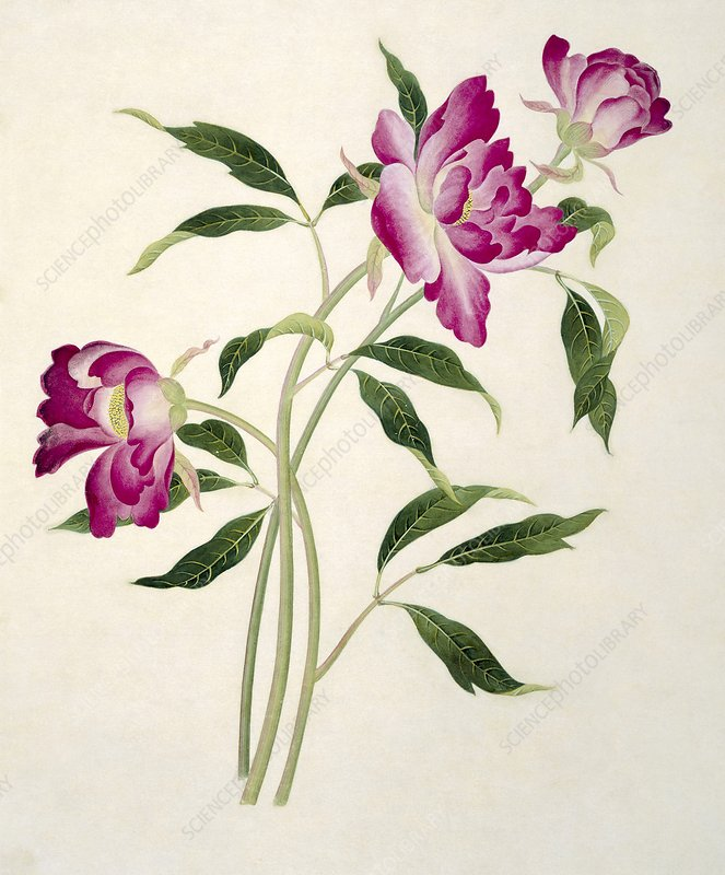 Reeves botanical artwork, 19th century