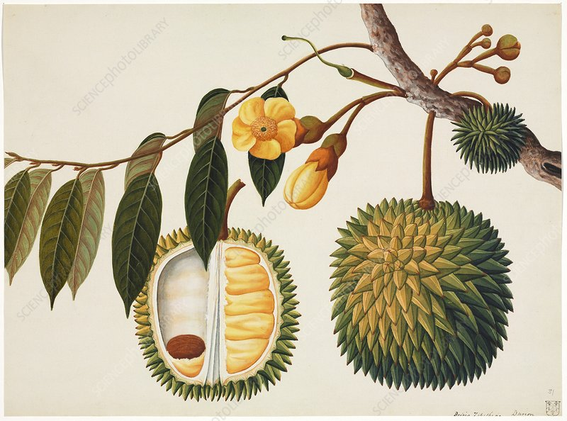 Durian fruit, 19th-century artwork