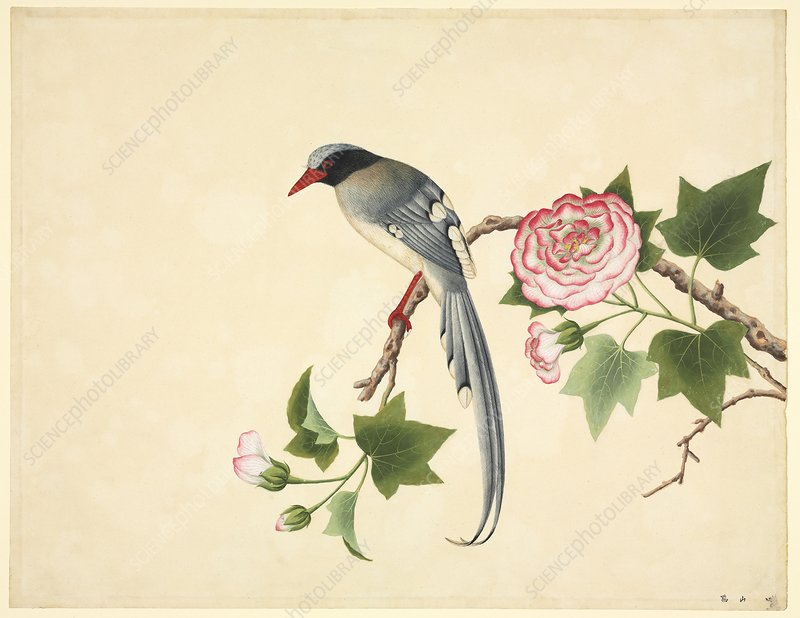 Red-billed blue magpie, 19th century