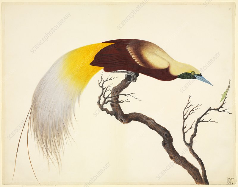 Lesser bird-of-paradise, 19th century