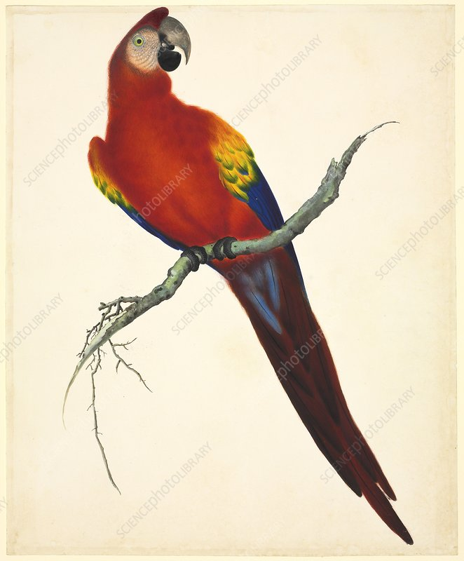 Scarlet macaw, 19th century