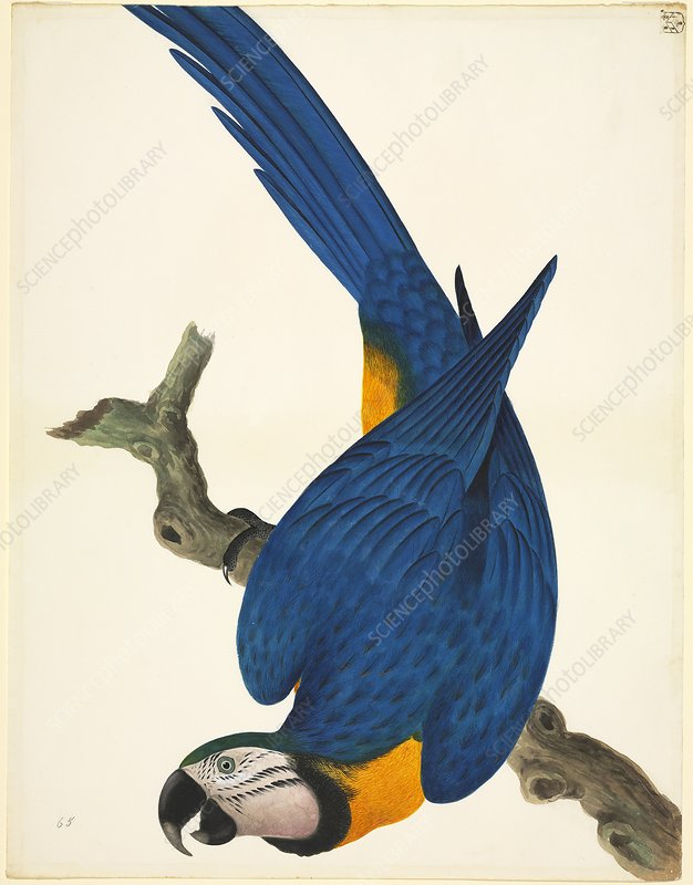 Blue-and-yellow macaw, 19th century