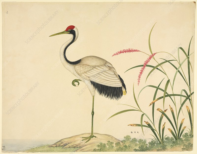 Red-crowned crane, 19th century