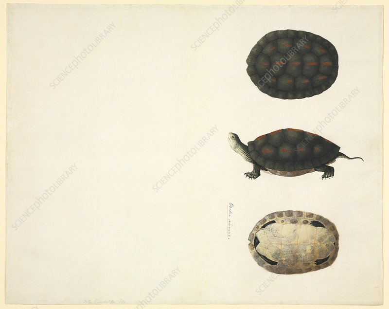 Turtle anatomy, 19th century