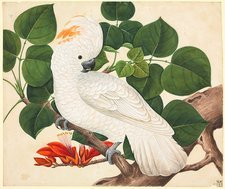 Salmon-crested cockatoo, 19th century