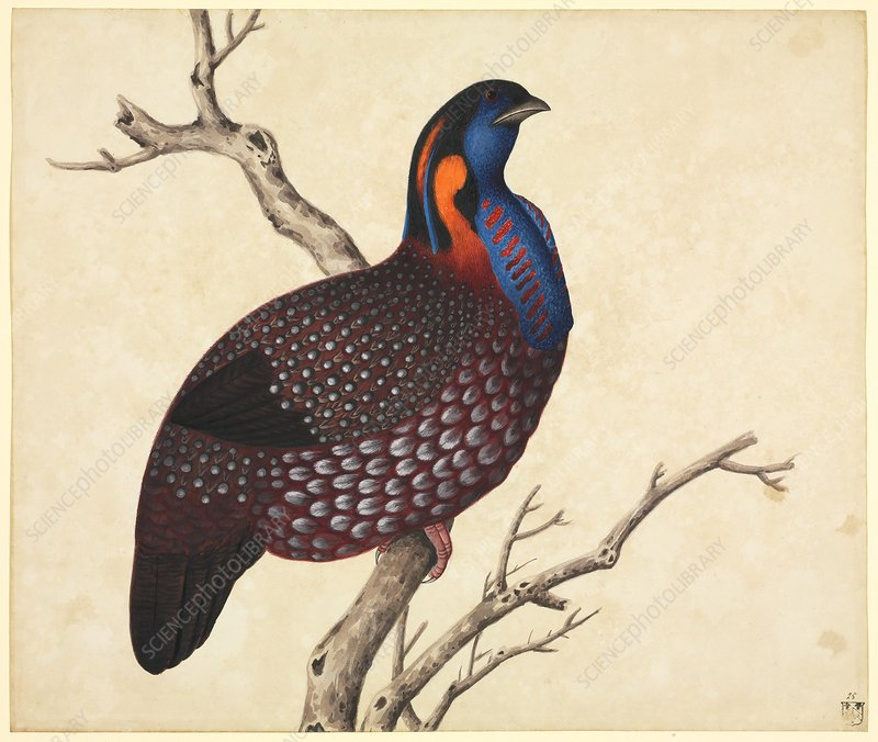 Temminck's tragopan, 19th century