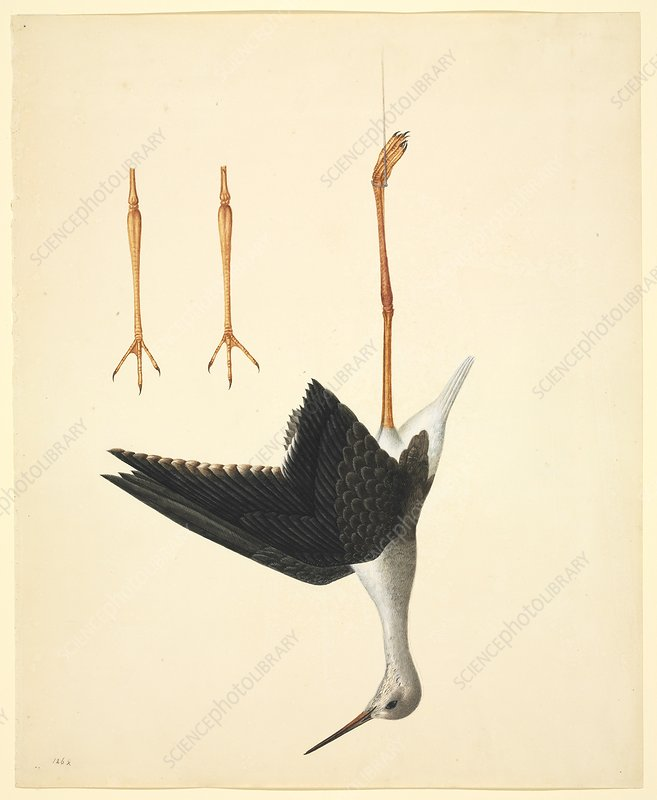Black-winged stilt, 19th century