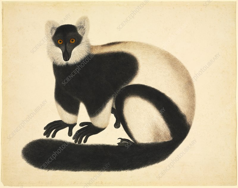 Ruffed lemur, 19th century